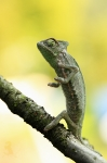 chameleon jemensky_5D3_2740