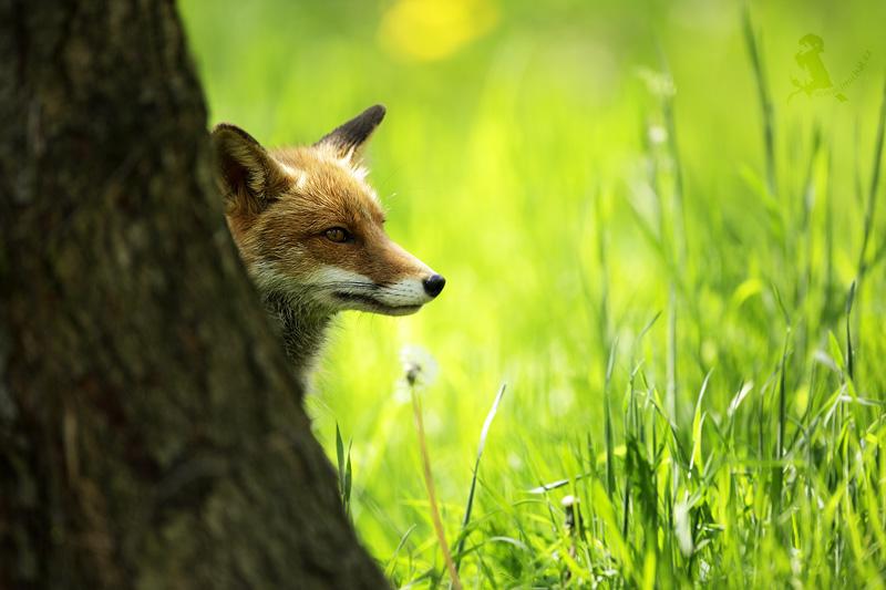 45a1998e198 WILDLIFE FOTOFÓRUM • Zobrazit téma - Liška obecná (vulpes vulpes)